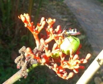 chiang dao beetle